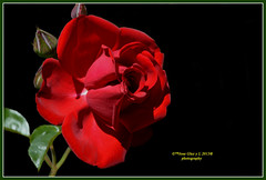 Red rose (Pepe (ADM)) Tags: flowers red flores nature rose ngc flor redrose fiori onblack fleure mygearandme rememberthatmomentlevel4 rememberthatmomentlevel1 rememberthatmomentlevel2 rememberthatmomentlevel3 rememberthatmomentlevel5 flowerthequietbeauty