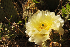 cactus flower in zion overlook trail 2013 (houstonryan) Tags: park cactus flower yellow print photography utah sandstone photographer desert ryan may houston southern trail national photograph 24 zion redrock overlook 2013 houstonryan
