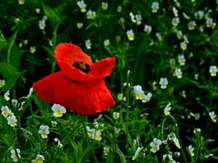 A poppy between wild pansies/ Poljski mak (Silva Predali) Tags: red green spring pansy meadow slovenia poppy flowering nikond7000 silvyp poljskimak divjemaehe