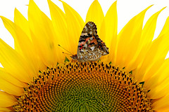 Painted Lady on Sunflower (ArvinderSP) Tags: summer macro sunshine yellow closeup butterfly spiral petals pattern sunflower newdelhi sunnyday paintedlady vanessacardui diskflowers nymphalidae 2013 mywonderland nikon28105f3545d nikond3100 arvindersp