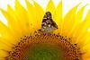 Painted Lady on Sunflower (ArvinderSP) Tags: summer macro sunshine yellow closeup butterfly spiral petals pattern sunflower newdelhi sunnyday paintedlady vanessacardui diskflowers nymphalidae 2013 mywonderland nikon28105f3545d nikond3100 arvindersp