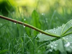 Regentag (gartenzaun2009) Tags: drops raindrops blatt garten regen tropfen regentropfen ahornblatt