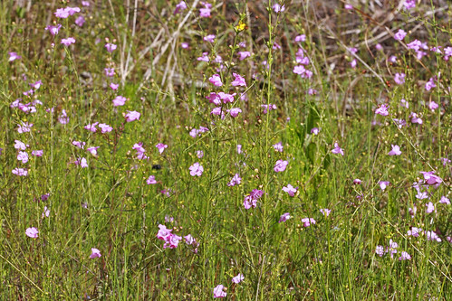 False Foxglove (Agalinis sp.)