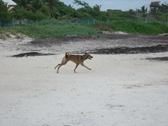 2013-06-04 Casitas Kinsol dogs at the beach - Puerto Morelos - Quintana Roo - Mexico (4) (Alain Berthelot) Tags: dog storm beach dogs rain june fun puerto juin andrea taxi beaches tropical nena plage rains between morelos morales plages 2013 moralos