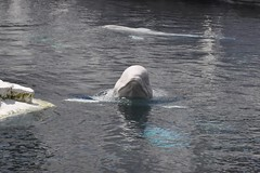 Beluga Whale (PirateTinkerbell) Tags: world ocean california ca sea wild white water animal animals nikon san sandiego 10 katie diego august arctic whale monday nikkor beluga belugawhale dslr 18 55 seaworld shamu vr 2010 sandiegoca seaworldsandiego 823 whitewhale 810 nikkorlens wildarctic august23 sandiegocalifornia seaworldcalifornia d5000 82010 82310 nikkor1855mmvr august2010 afsdxnikkor1855mmf3556gvr california2010 nikond5000 piratetinkerbell august232010 8232010 mondayaugust232010