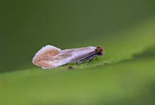 Fulvous Clothes Moth