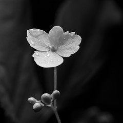 (Alan Drake) Tags: blackandwhite bw flower macro nature digital square nikon naturallight foliage manual d7000