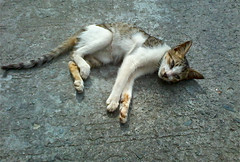 sunbathing cat (mikeeliza) Tags: street beautiful cat photography feline tabby philippines manila sunbathing slender mikeeliza