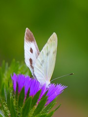 2013.06.17  (eriko_jpn) Tags: butterfly purpleflower smallwhite