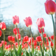 Tulip (richardhwc) Tags: rolleiflex 35e kodak portra400 tulip flower qingdao carlzeiss planar 75mmf35 coatingdegraded mediumformat 120 6x6 film