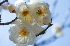 003L3NK4554Lr Plum blossoms (nak.viognier) Tags: osaka plumblossoms apricotblossoms umeblossoms baika