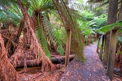Rainforest Path (medXtreme) Tags: bridge forest alley path australia trail lane tasmania paths australien tassie brcke wald farne hdr pathway weg pfad regenwald tasmanien temperaterainforest photomatix bluetier commonwealthofaustralia leptosporangiateferns vandiemensland gefsspflanzentracheobionta australienkontinent lutriwita echtefarnepolypodiopsida baumfarnecyatheales gemssigterregenwald