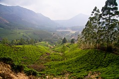 IMGP0740 South India Kerala Silent Valley Tea Plantation (Dave Curtis) Tags: india silent pentax kerala valley 2012 kx