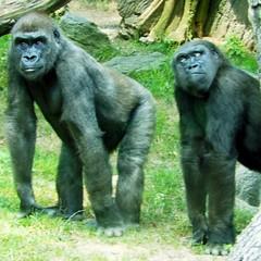 flickr staff (nonofyurbizness) Tags: animal flickr gorilla staff bronxzoo
