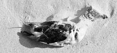 Death in black and white (Kees Waterlander) Tags: scotland other zwartwit unitedkingdom vogels natuur lewis places zeekoet verenigdkoninkrijk schotland2013