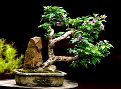 Bougainvillea (Aido Bonsai - Paulo Netto) Tags: bonsai penjing aido