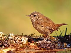 Chochín (Troglodytes troglodytes) (eb3alfmiguel) Tags: aves chochin insectívoros pájaros
