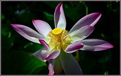 Lotus Flower (tdlucas5000) Tags: flowers white flower up yellow garden botanical hawaii close purple lotus large national kauai tropical purpleandwhite lotusflower