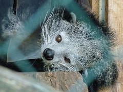Binturong (judith74) Tags: bar zoo tiere brandenburg binturong arctictisbinturong eberswalde barnim schleichkatze marderbr