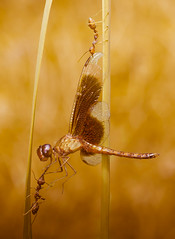 SEARCH & RESCUE OPERATION (wieyos) Tags: red dragonfly ant weaver