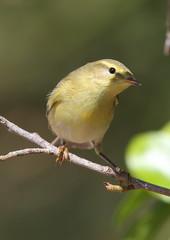 Warbler (Martial2010) Tags: canon islands spain lanzarote canary