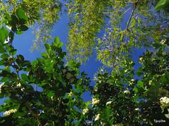 upshot morning  10-5-2013 9-26-029 (1guy2be) Tags: white color yellow landscape flora pentax florida bamboo evergreen fragrant tropical showy murraya rutaceae skyshot paniculata richardelliott orangejessamine murrayaexotica chalcasexotica chalcaspaniculata chalcas rickelliott 1guy2be in2it2much richardpriceelliott homesanctuary orangejessaminemurrayapaniculata