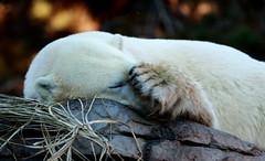 Day at the Zoo (Katrina Fries) Tags: animals zoo polarbear sandiegozoo