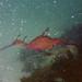 Weedy+seadragon-Phyllopteryx+taeniolatus