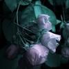 Roses blanches (domiloui) Tags: flowers france macro nature composition flickr jardin panasonic lumiere lorraine couleur plantes ambiance abstrait nuances cooliris abaucourt blinkagain