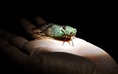 Cicada (karon.liu) Tags: travel tourism peru southamerica inca amazon adventure jungle bullfight
