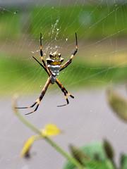 Argiope spec. (Eerika Schulz) Tags: argiope spec spinne spider eerika schulz