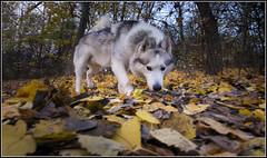 On the Scent (SFB579 Namaste) Tags: park wood autumn trees orange dog pet brown leaves animal woodland fur gold wolf pentax hunting ears domestic wakefield paws hunt waterpark grew k5 pugneys