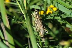 2013 Grasshopper 8 (DrLensCap) Tags: road county b robert wisconsin bug insect rainbow boulder junction lodge grasshopper wi kramer