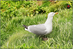 Iver Gull meets Dangerous Don ... (Colink321) Tags: nature birds fun duck dangerous gull donald gulliver don iver standoff rainraingoaway anisotropic bytheseaside colink321