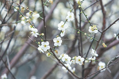 Plum Flower () Tags: flowers canon plumflower  70200mmf28lis 1dx whiteplumflower newtaipeicity