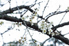 北刨刨 (湯小米) Tags: canon 桃園 plumblossom plumflower 梅花 角板山公園 2470mmf28l 1dx whiteplumflower