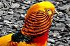 Golden Phesant (Diko G.W.) Tags: flickrstruereflection1 flickrstruereflection2
