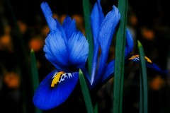 Iris - Reticulata Harmony (Paul Sibley) Tags: flower photoaday nikond60 28365 3652014