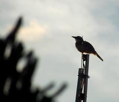 bentivi (TiagoBu) Tags: aves passros bentivi