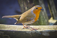 Red Robin (Alexander Jones - Documentary Photography) Tags: life park red wild west bird nature robin birds gardens swansea wales fauna botanical lumix photography wildlife south documentary panasonic singleton dmcfz45 swanseabaymumblesandgower {vision}:{outdoor}=0652 {vision}:{sky}=0736