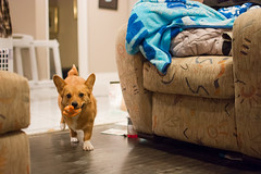 Sawyer 9 of 52 (Kayley Luftig) Tags: orange dog pet ontario canada cute animal corgi nikon pembrokewelshcorgi rubberducky sawyer fetch 952 52weeksfordogs nikond7100