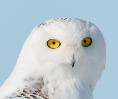 I love the eyes (rabidscottsman) Tags: scotthendersonphotography owl snowyowl mn minnesota vermillionminnesota animal animalphotography wild wildlife yelloweyes eyes looking bird nikond7100 nikon d7100 sigma150500 travel exploreminnesota wildlifewednesday raptor dakotacountyminnesota