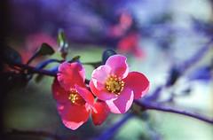 (alienmeatsack) Tags: pink flowers 35mm spring lomography bush backyard iso400 bloom diopter 50mmlens kodakultramax mirandasensorex automiranda