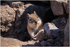 Osterreise 2015 Day12-52 - Copy (Rattleep) Tags: animal colorado goldenmantledgroundsquirrel milliondollarhighway osterreise2015 squirrel usa sdphotographie2015