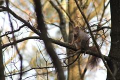 IMG_1983 (marianabmcruz) Tags: parquebiológicodegaia parquebiológico biologicalpark outdoors outdoor nature natureza animal animals fauna esquilo squirrel squirrels