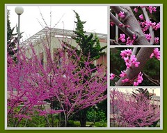 Herald of Spring (Melinda Stuart) Tags: cercis redbud judastree pink spring tree bud buds flowers early campus landscaping herald welcome university mosaic fdsflickrtoys