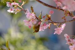 DSCF1557 (naofumitaguchi) Tags: fujifilm xm1 tokyo japan bird メジロ 富士フイルム naofumitaguchi sakura 日本 東京 桜 outdoor 河津桜 カワヅザクラ cherry blossom plant tree pastel mejiro japanese whiteeye flower macro