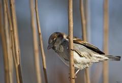 sparrow crop (bsurma) Tags: animals sparrow bsurma people bill surma billsurma