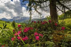 Rododendri e Pale (cesco.pb) Tags: valdifassa fuciade paledismartino dolomiten dolomiti dolomites alps alpi trentino veneto italia italy canon canoneos60d tamronsp1750mmf28xrdiiivcld montains mountains passospellegrino