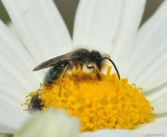 pollen tax (Roger Nyemaster) Tags: california sanfranciscobayarea alamedaco haywardca sanfranciscobaytrail ebparksok haywardregionalshoreline flora wildflower asteraceae anthemideae anthemis acotula anthemiscotula stinkingchamomile mayweed dogfennel minerbee